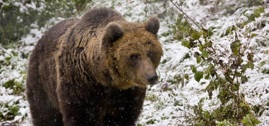 O buna idee de cadou, Bear Watching Short Break pentru intreaga familie in Brasov / Bran 4