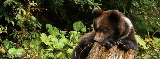 O buna idee de cadou, Bear watching - Aventura pe urmele ursilor 4